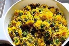 dandelion - an edible wild plant