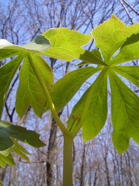 mayapple - an edible wild plant