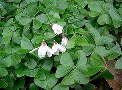 oxalis - an edible wild plant
